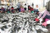 暖冬產量減 吃烏魚子瘦荷包