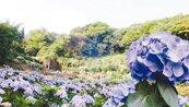 竹子湖 繡球花開
