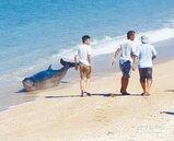 3海豚擱淺砂島 援救送回大海