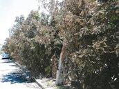 焚風吹葉枯黃 專家籲:樹未死別砍