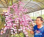 西蕾莉種蝴蝶蘭 盛開300朵吸睛