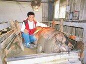有交管 三峽1306斤神豬今遶境