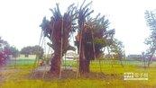 搶救夫妻樹 保存清水在地記憶