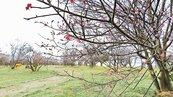 台東春節 共賞櫻花、梅花