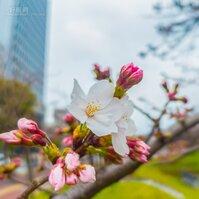 白天櫻花看到爽,晚上來頓路邊攤,福岡賞櫻不用人擠人