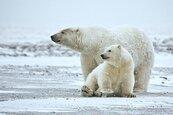 未來35年 北極熊可能減逾30%