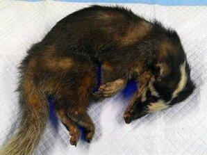 白河鼬獾咬傷民眾 確診狂犬病