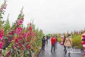 蜀葵花開比人高 員林觀光季驚豔