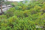 新豐紅樹林茂密 竟成潮間生物殺手