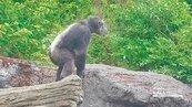 動物園上演「星球崛起」 黑猩猩越獄嚇壞遊客