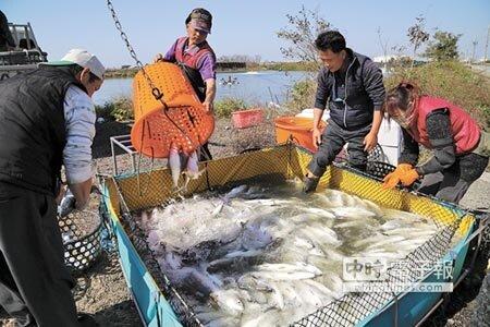 寒流來襲,雲嘉南虱目魚災損慘重,圖為布袋養殖戶急將凍死的虱目魚打撈上岸。(翁聖勳攝)