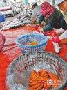 暖冬衝擊 養殖烏魚子買氣熱