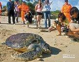 去年救助約200隻海龜 7成已死亡