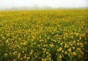 外埔種小油菊 小黃花朵迎客