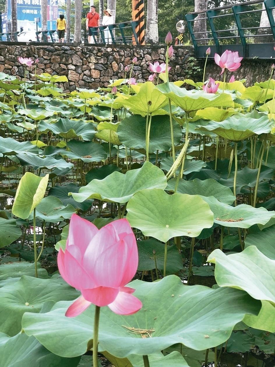 中興新村荷花最近盛開,在一片綠意中,粉紅色蓮花更顯精神,吸引民眾停下腳步欣賞。 記者江良誠/攝影