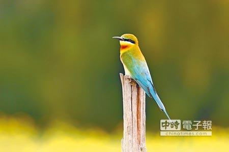 栗喉蜂虎是金門最受矚目的夏候鳥。(李金生攝)