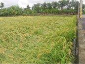 暴雨侵襲讓稻作倒伏 嘉義農民搶收