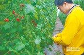 為了孩子 無毒番茄園誕生
