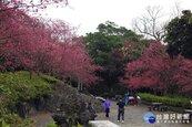陽明山花季絢麗登場 感受繽紛燦爛櫻花之美