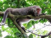 別濫殺!保育類「台灣獼猴」除名