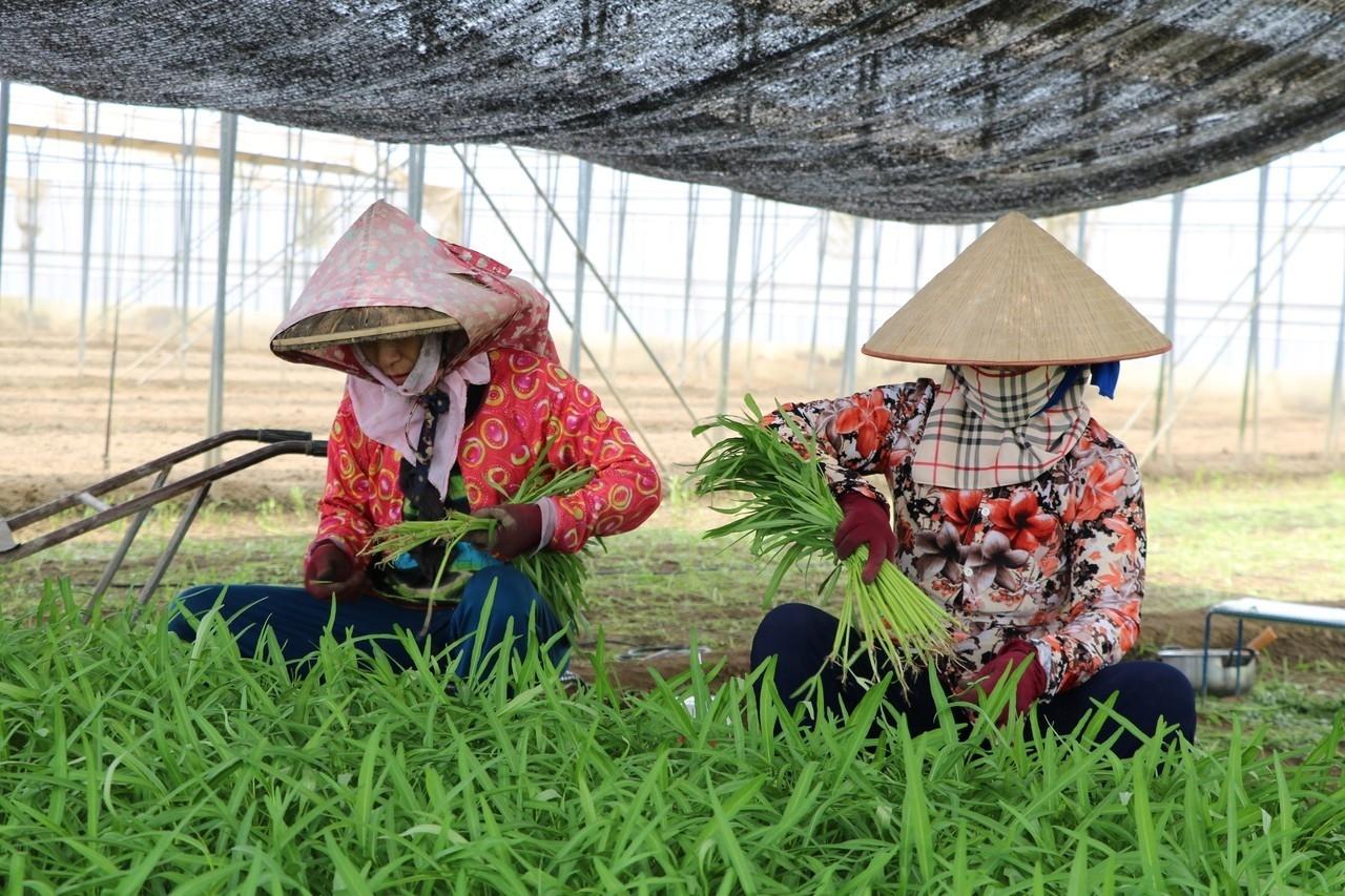 「不算搶收!」瑪莉亞颱風來襲,嘉義新港鄉農民昨天一早就下田收割空心菜,農民直言每天產量都差不多,可能多收一點、不算搶收。 記者卜敏正/攝影