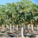 產地每公斤60元 木瓜價格創新高