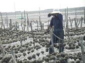 氣候影響牡蠣 芳苑、王功成長緩慢產量銳減