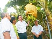 香蕉、鳳梨價格崩盤 果農愁血本無歸