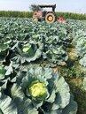 高麗菜量多價低迷 李退之:農民不應存拚看看的心理
