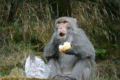 遊客餵食台灣獼猴 玉山國家公園將開罰