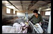 廣西也爆發非洲豬瘟 全大陸僅剩五省份未淪陷