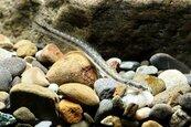 彰化縣海岸最後的淨土 漢寶濕地發現帶鰕虎罕見魚種