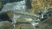 七家灣溪國寶魚鉤吻鮭5千多尾 在溪流應可健康長大