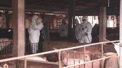 金門200豬隻送檢 縣府:送驗結果都正常