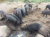 非洲豬瘟兵臨城下 曾文水庫山豬島成防疫漏洞
