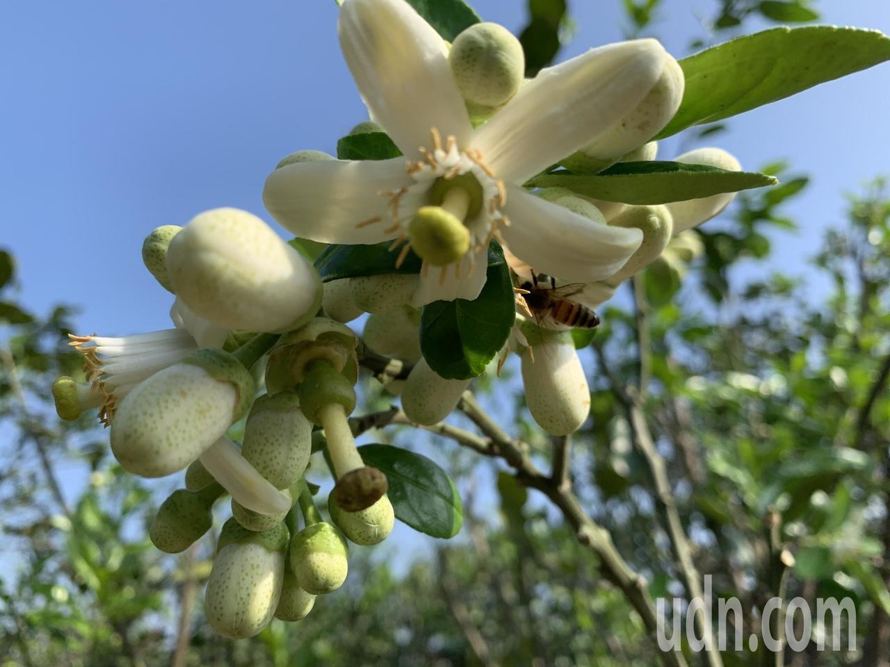 台南麻豆文旦部分最近陸續出現不正常開花,比正常花期早了一個多月,台南農改場認為與暖冬無關。記者吳淑玲/攝影