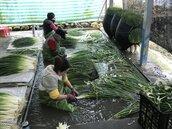 連日雨賣相差…三星蔥價低 採越多賠越多