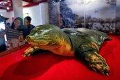 影/為何牠屍體獲國父級待遇?認識越南「護國神鱉」