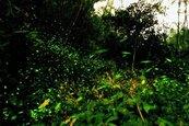賞螢季來了 這秘境有10種螢火蟲出現