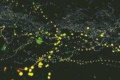 「綠色流星雨」提早來了 螢火蟲爆量閃發光