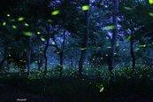 肉眼看不見的藍幕時刻 阿里山祕境林間螢火蟲飛舞