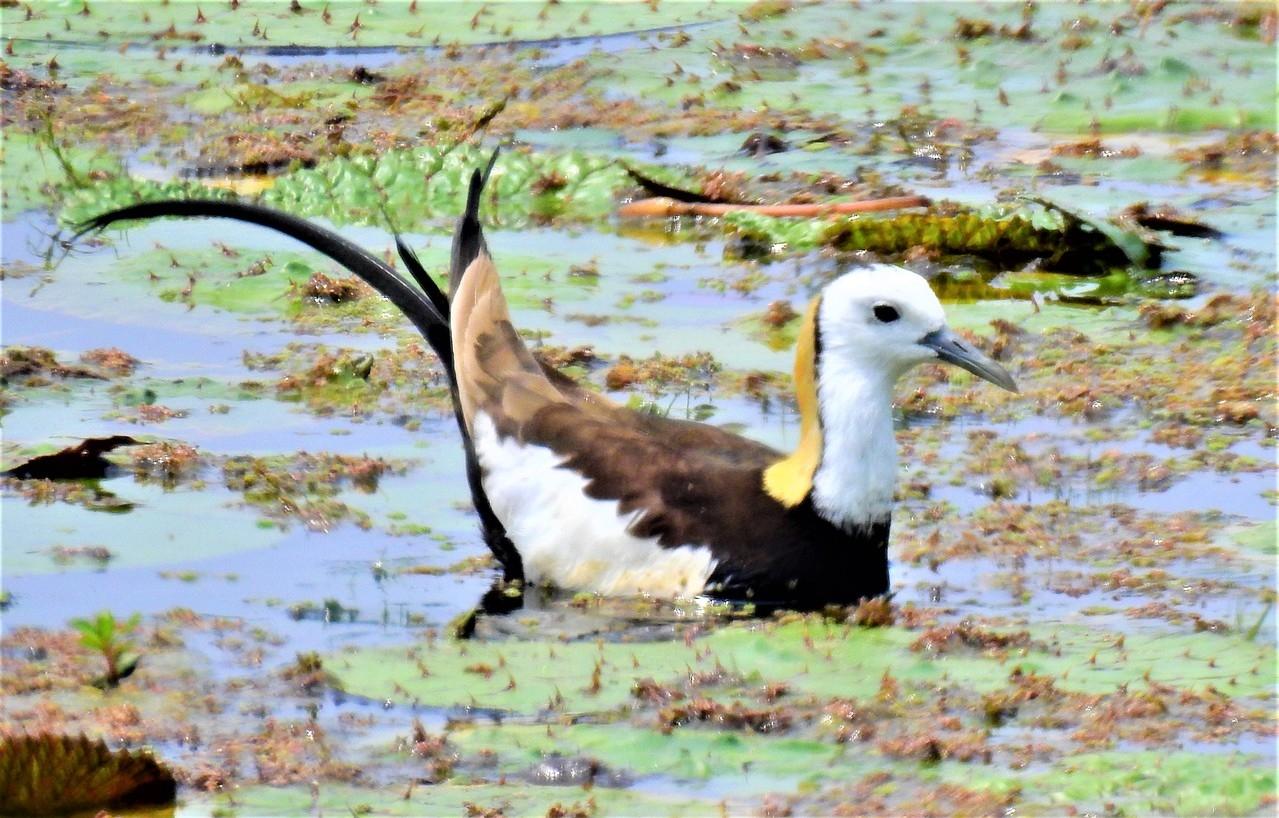 有菱角鳥之稱的水雉,喜愛在菱角田棲息及築巢繁殖。記者吳淑玲/攝影