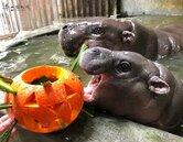 壽山動物園辦收涎派對 超萌侏儒河馬「圓寶」亮相
