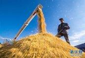美國史上首次!川習會後美對中國出口稻米