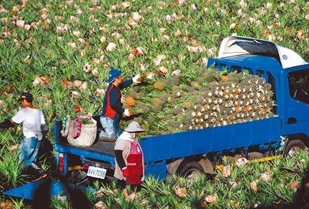 台東縣鹿野、延平的鳳梨進入量產,農民在田裡忙著採收。(莊哲權攝)
