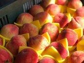 太熱!尖石水蜜桃產量銳減 想吃手腳要快