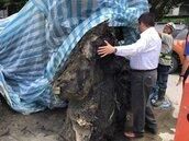 涉史前人類文化?板橋忠孝國中挖出2巨大古木