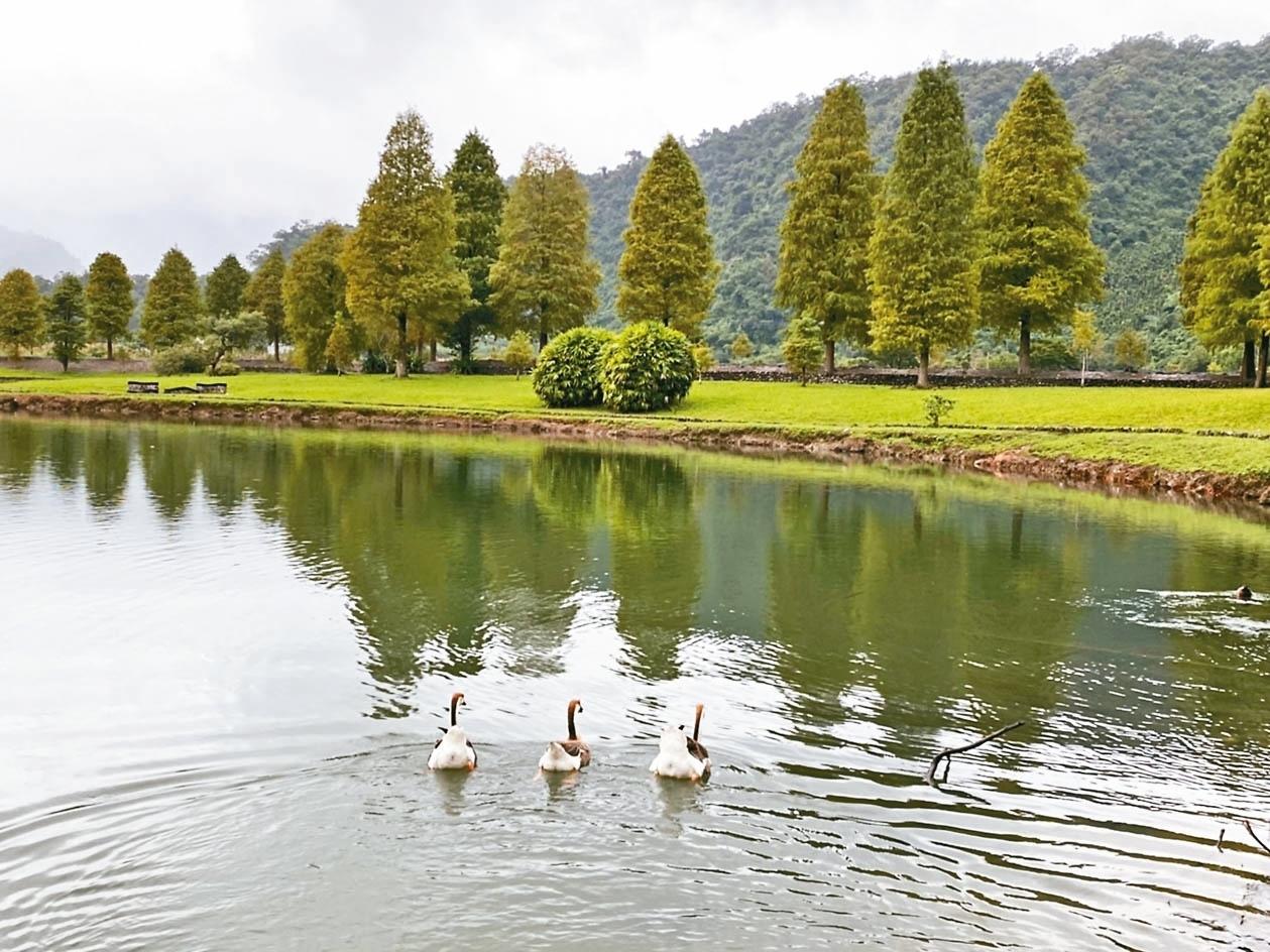 宜蘭福園水畔落羽松林,有鵝群相伴。 記者羅建旺/攝影