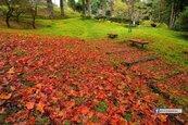 阿里山整片「紅葉地毯」染紅森林!網友讚:不用去日本