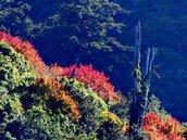 玉山塔塔加銀霜、楓紅深秋美景如畫 遊客直呼美呆了